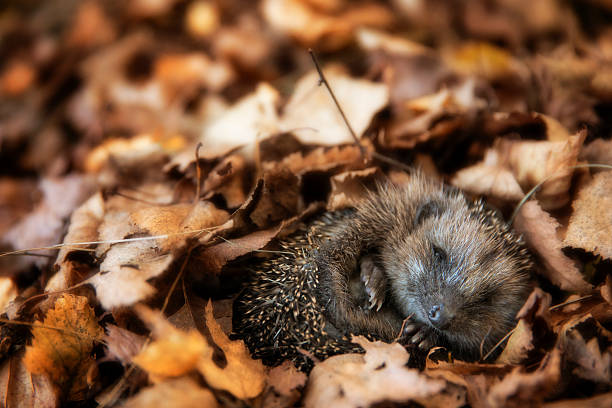 Baby hedgehog is sleeping in autumn leaves - Photo