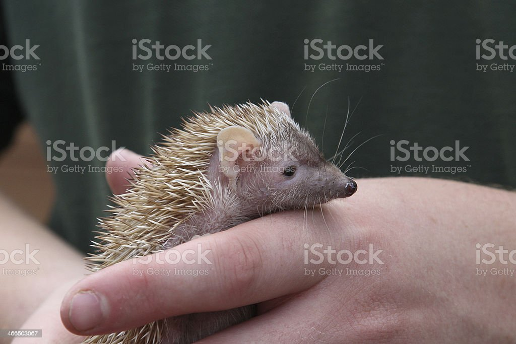 Baby Hedgehog royalty-free stock photo