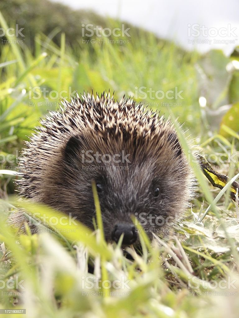 Baby Hedgehog Portrait stock photo