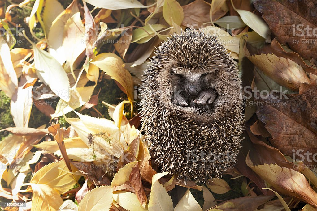 Baby Hedgehog Surrounded by Autumn Leaves stock photo