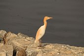 Very innocent baby heron of differently coloured than any other. Waiting at bay for mom to bring a fish or food.