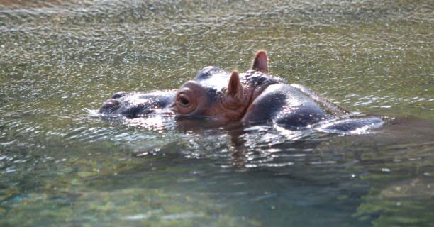 Baby Hippo Head stock photo