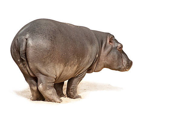baby hippopotamus - hippo tail stock photos and pictures