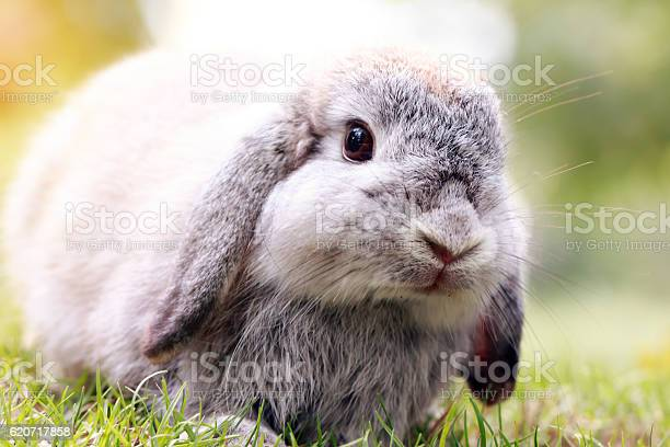 Baby holland lop rabbit eating grass in park picture id620717858?b=1&k=6&m=620717858&s=612x612&h=j63fxz1dciwcg ioecdztqs2wwph9ds fkp6nn1g4ci=