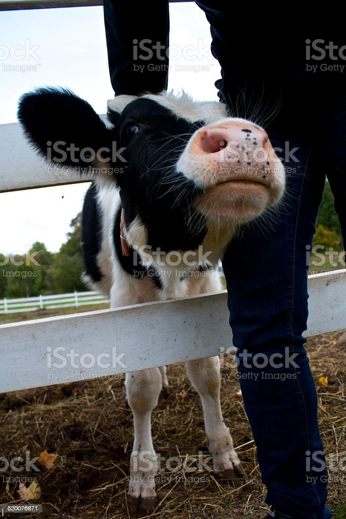 Baby Holstein Pushing Through Fence (Bos primigenius) stock photo