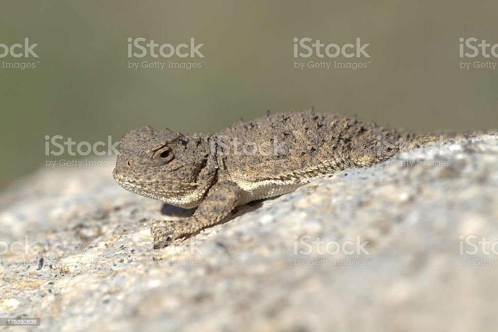 Baby Horned Toad stock photo