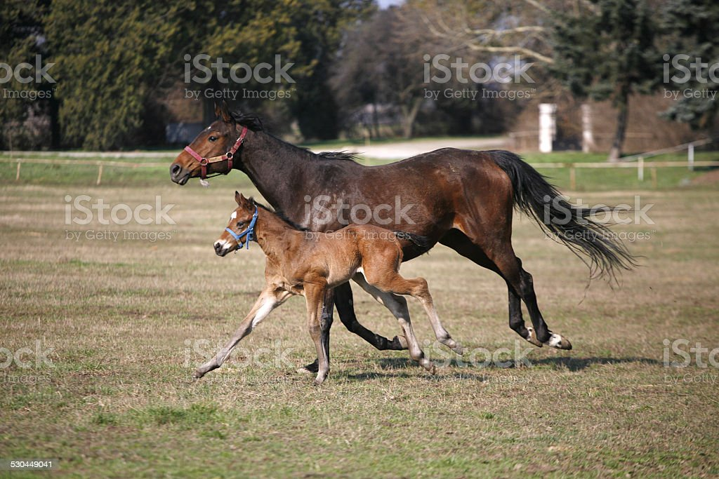 Baby Horse Foal And Mother Mare Galloping Together In Meadow Stock Photo Download Image Now Istock