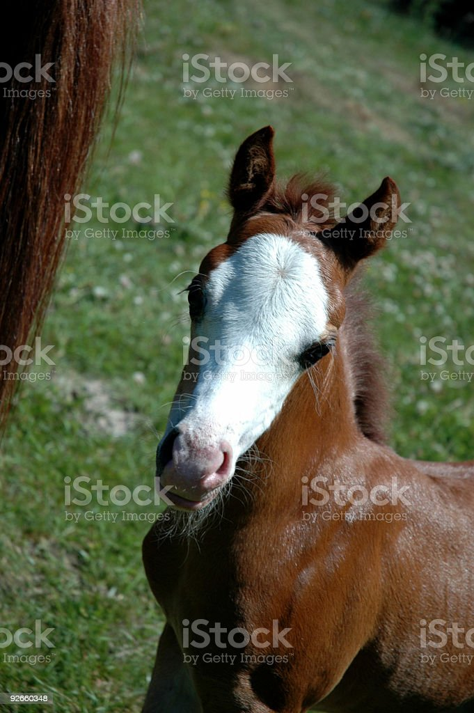 Baby Horse stock photo