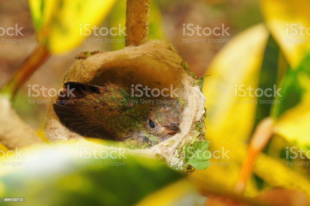 Baby hummingbird of Rufous tailed in nest, Costa Rica, Central America