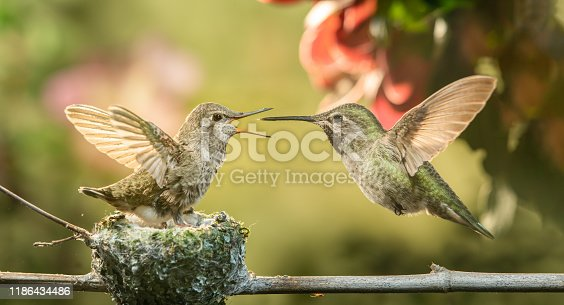 This is a photograph of a baby hummingbird opening mouth for food from mother