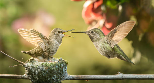 Baby hummingbird open mouth for food from mother stock photo