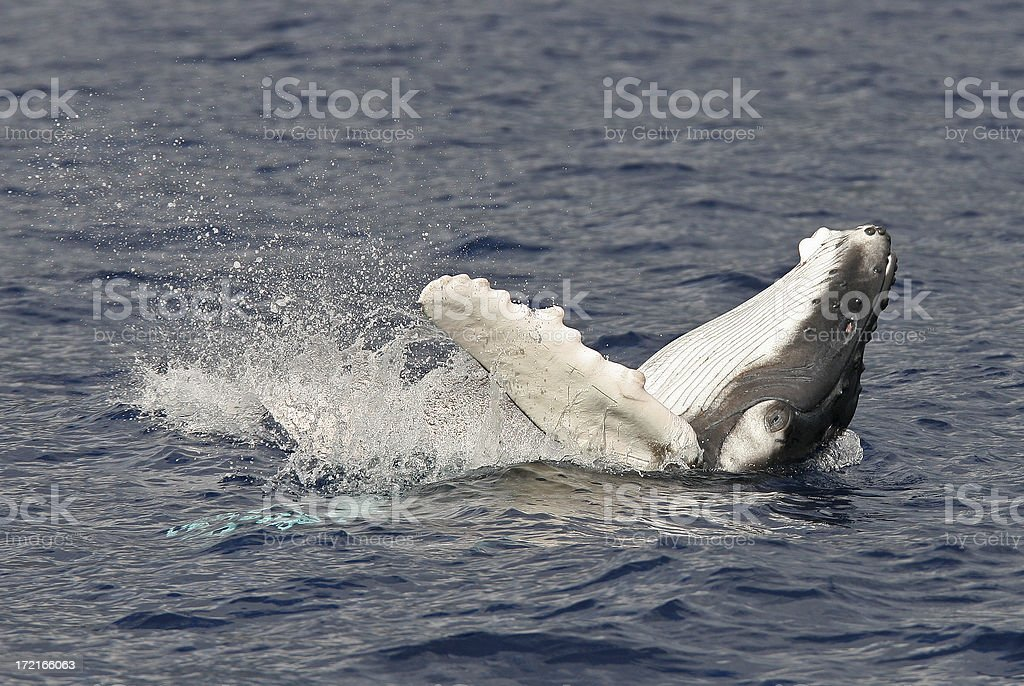 Baby Humpback Whale royalty-free stock photo