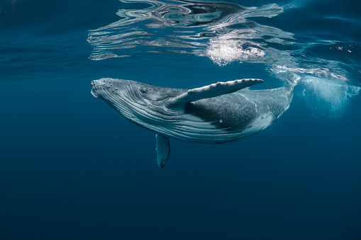 A baby humpback whale plays as it swims near the surface in blue water off Tonga in the Pacific Ocean