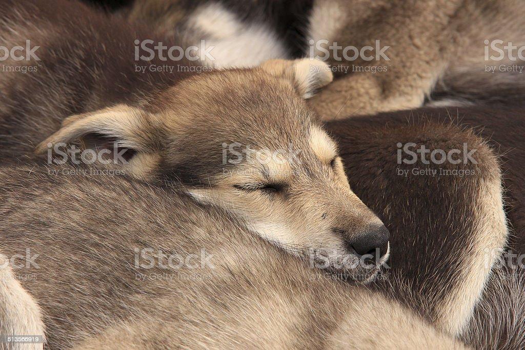Baby huskies sleeping stock photo