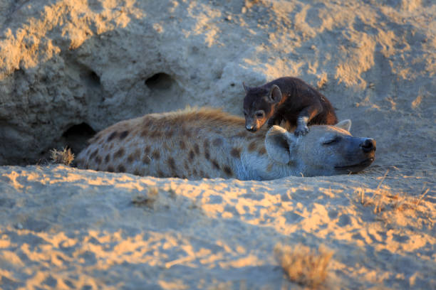 Baby Hyaena Baby Hyaena with her mother zähne stock pictures, royalty-free photos & images
