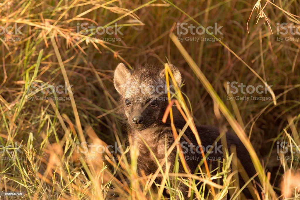 Baby Hyenas, Masai Mara royalty-free stock photo