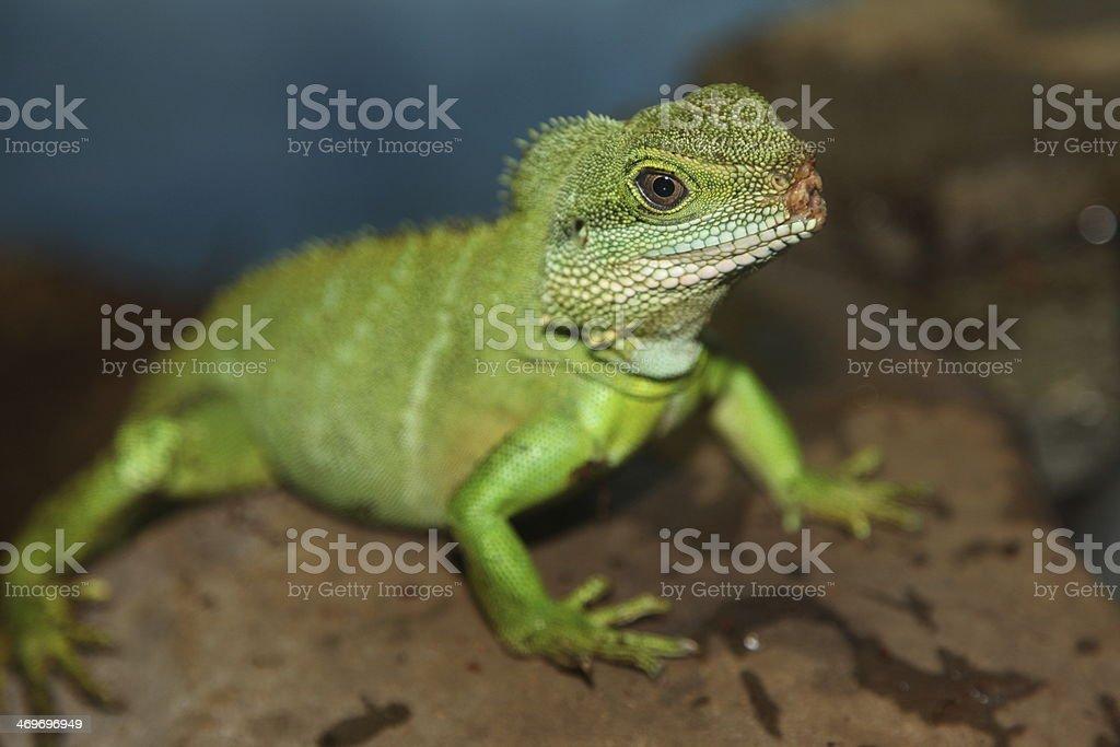 Baby Iguana Lizard stock photo