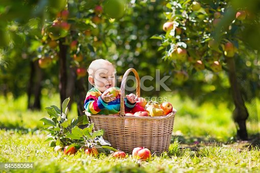 istock Baby in apple basket in autumn fruit orchard 845580584