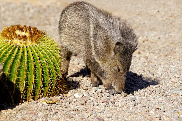 baby javelina - javelina stock pictures, royalty-free photos & images