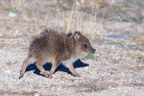 Baby Javelina Baby Jabelina at Fort Bowie National Histric Site javelina stock pictures, royalty-free photos & images