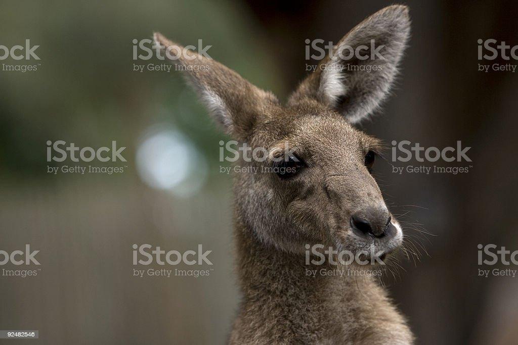 Baby kangaroo royalty-free stock photo