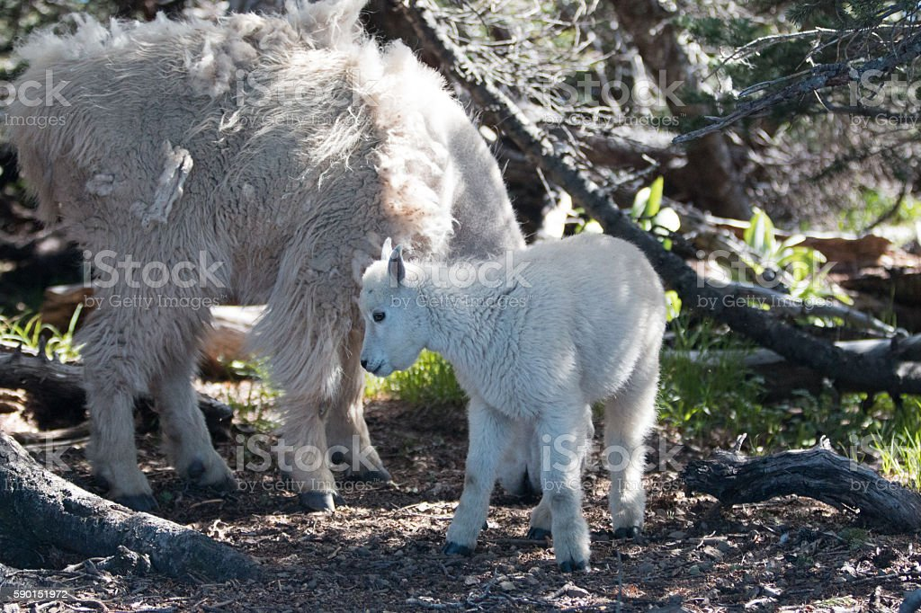 Baby Kid and Mother Nanny Mountain Goats in Washington State stock photo