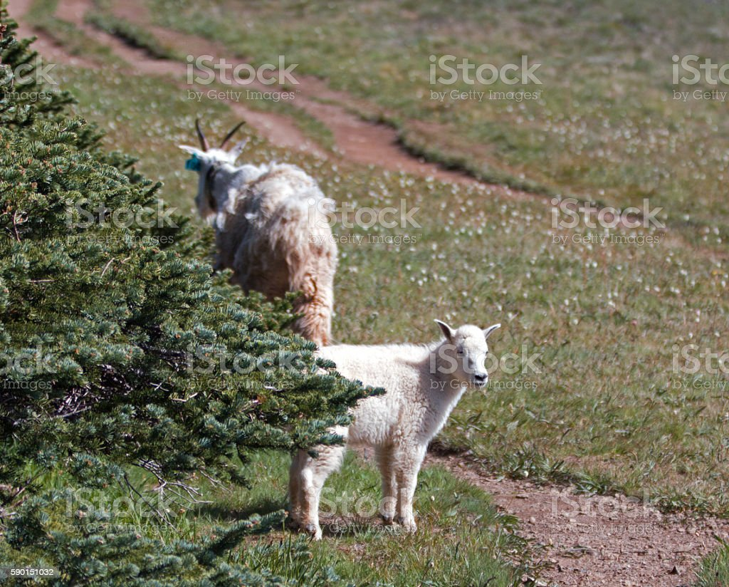 Baby Kid and Mother Nanny Mountain Goats on Hurricane Ridge stock photo