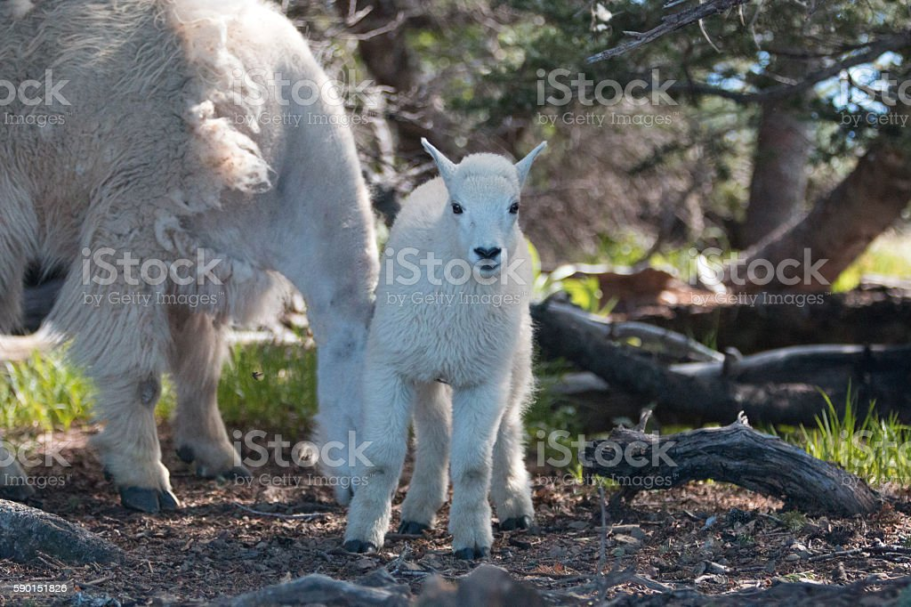 Baby Kid and Nanny Mountain Goats on Hurricane Hill thicket stock photo