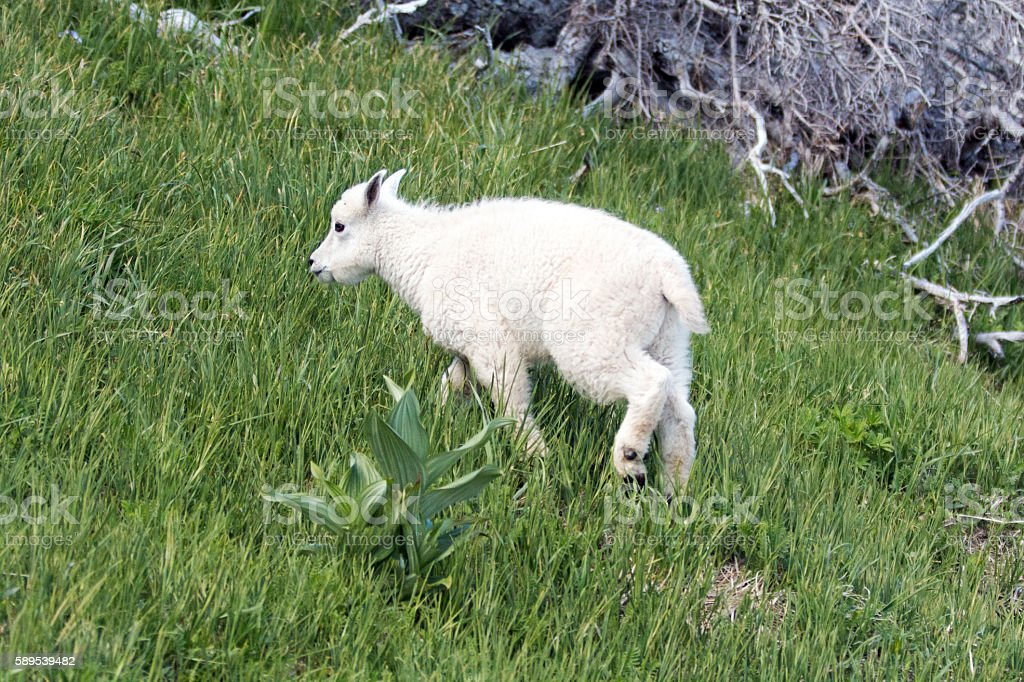 Baby Kid Mountain Goat on grassy knoll in Olympic NP stock photo