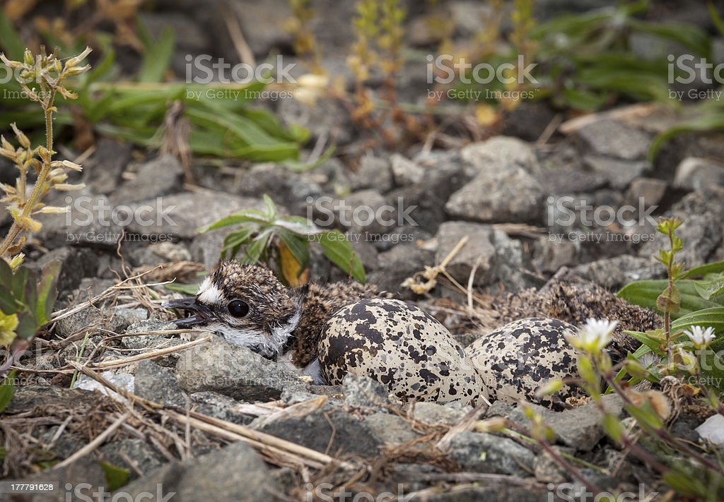 Baby Killdeer chick in nest with eggs stock photo