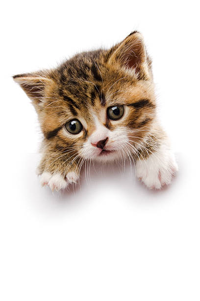 Baby kitten laying on top of a white sign picture id157593091?b=1&k=6&m=157593091&s=612x612&w=0&h=kslzwlsmkqwsk4qlmejmfx jfxlzflmobwandaohn1e=