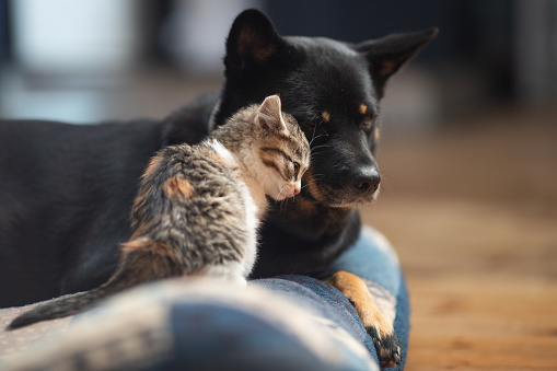 A young kitten rubbing up on her adopted Mama dog.