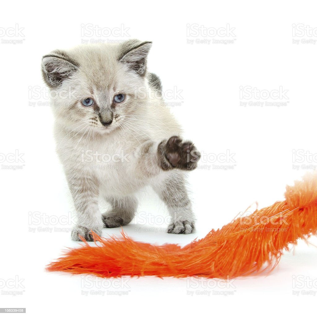 Baby kitten playing royalty-free stock photo