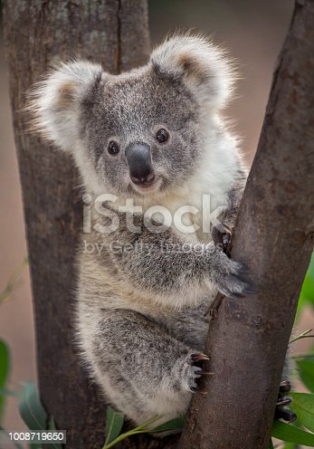 A wild Koala climbing in its natural habitat of gum trees stump holding look out.