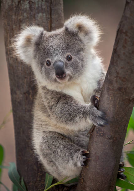 Baby koala bear. A wild Koala climbing in its natural habitat of gum trees stump holding look out. koala stock pictures, royalty-free photos & images