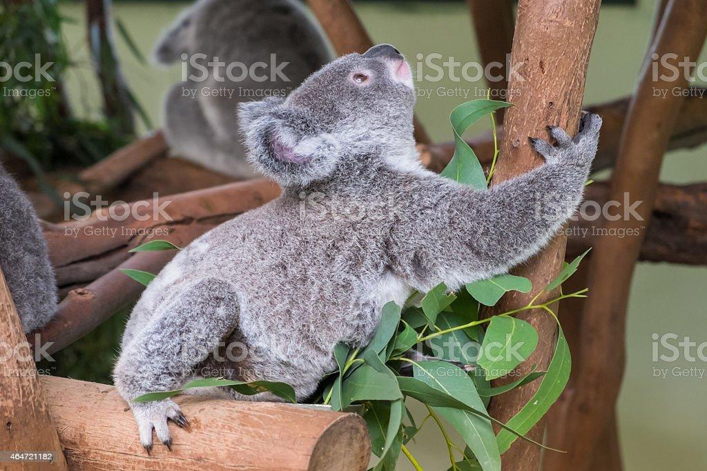 Baby koala climbing a tree stock photo