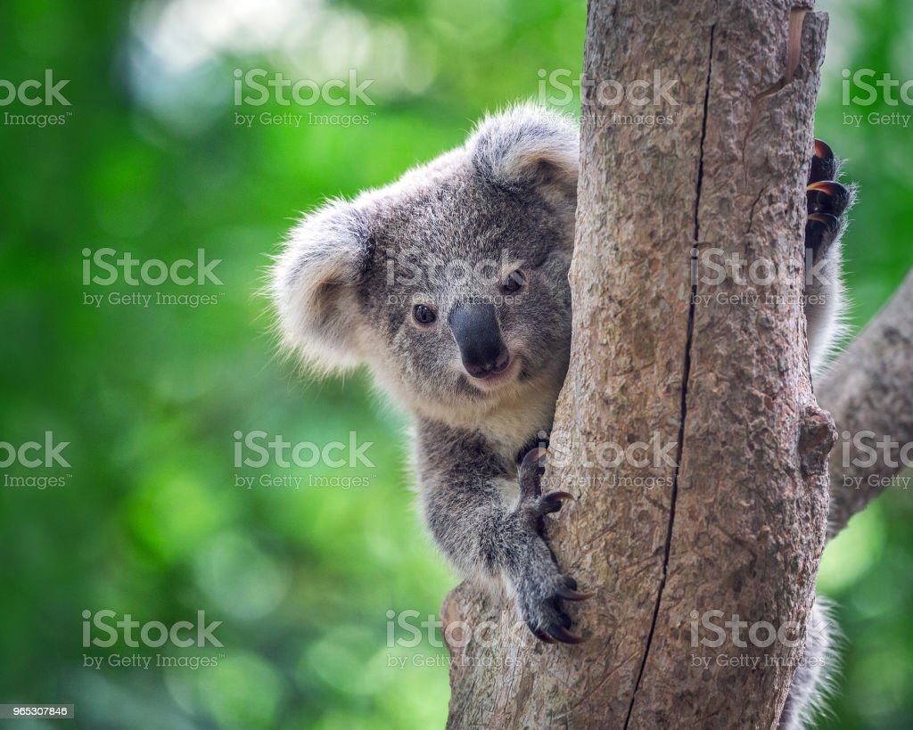 Baby koala on a tree. royalty-free stock photo