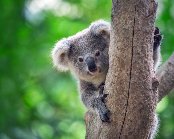Baby koala on a tree. Baby Koala Bear on a tree in a natural atmosphere. animal captivity building stock pictures, royalty-free photos & images