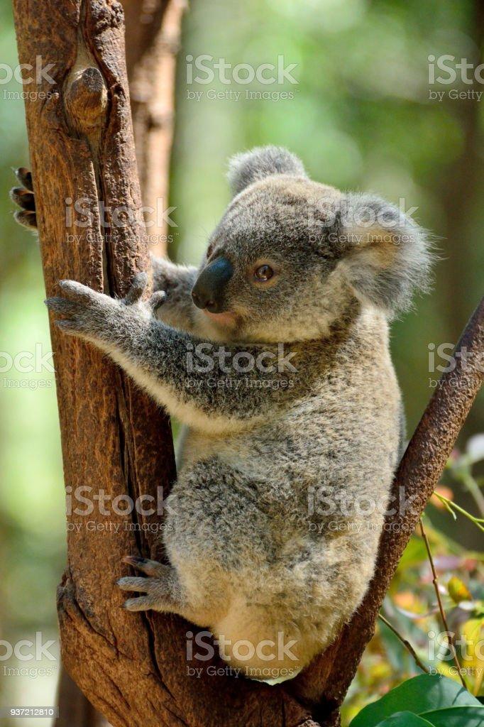 Baby koala on eucalyptus tree stock photo