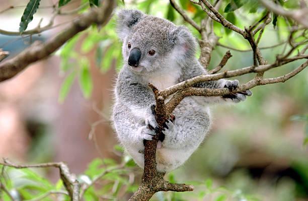 "Baby Koala ""Baby Koala 'up a gum tree' (Eucalyptus)   New South Wales, Australia"" koala stock pictures, royalty-free photos & images"
