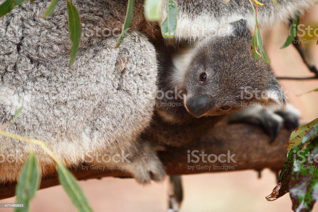 Baby Koala royalty-free stock photo