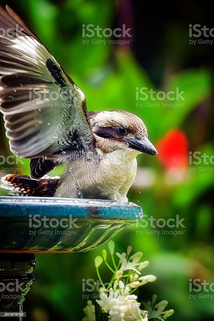 Baby Kookaburra stock photo