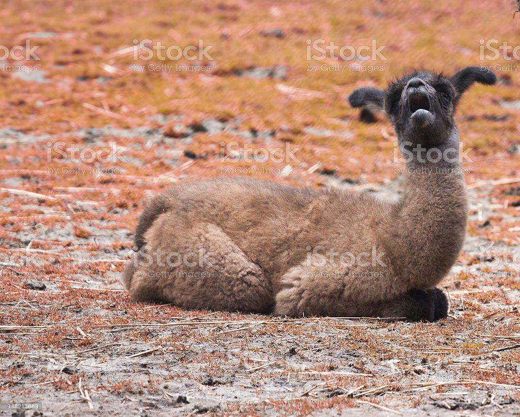 Baby Lama royalty-free stock photo