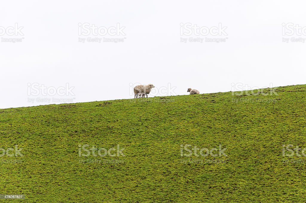 baby lamb drinking milk from mother sheep royalty-free stock photo