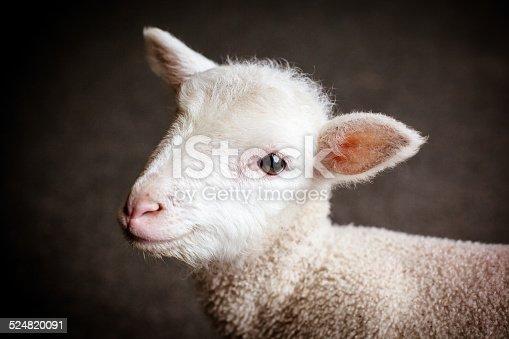 An inquisitive baby lamb in Victoria, Australia