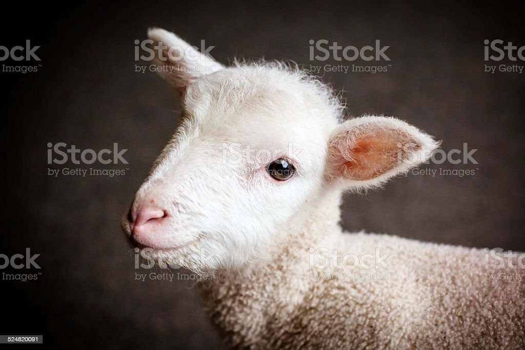 Baby Lamb Face stock photo