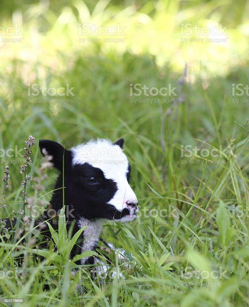 Baby Lamb in Field stock photo