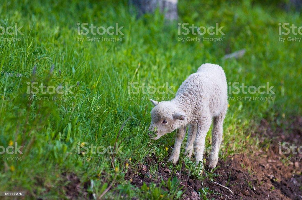 Baby lamb in green grass stock photo