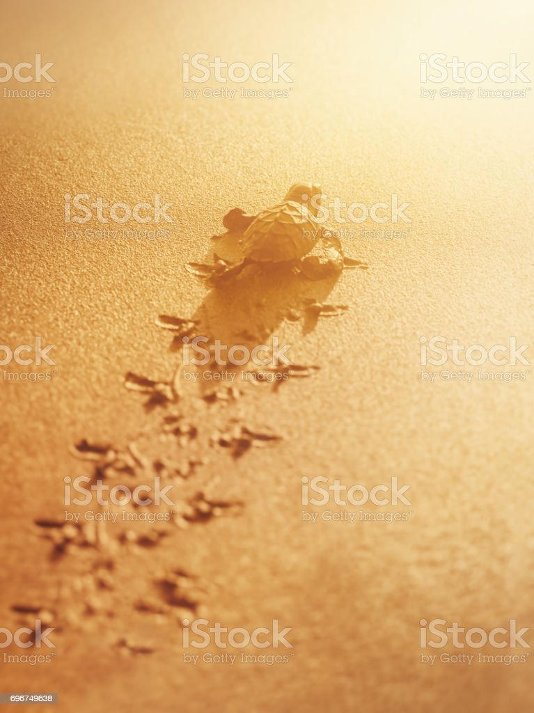 Baby leatherback sea turtle traveling towards the sunlight Trinidad stock photo