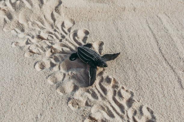 een baby leatherback schildpad hatchling in een trail naar de oceaan - leatherback stockfoto's en -beelden